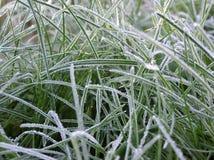 śniegurek trawy. Zdjęcia Stock