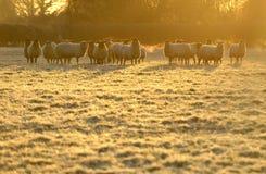 śniegurka owce Zdjęcie Royalty Free