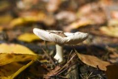 Niejadalny pieczarkowy dorośnięcie w lesie podczas jesieni Fotografia Stock