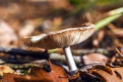 Niejadalny pieczarkowy dorośnięcie w lesie podczas jesieni Obrazy Royalty Free