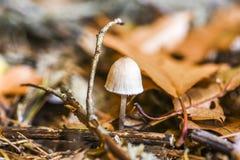 Niejadalny pieczarkowy dorośnięcie w lesie podczas jesieni Zdjęcia Stock