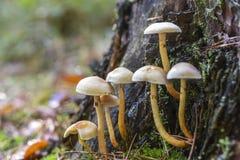 Niejadalny pieczarkowy dorośnięcie w lesie podczas jesieni Zdjęcie Stock