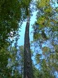 Niekończący się drzewo Fotografia Royalty Free