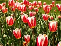 Niekończący się morze tulipany Zdjęcie Royalty Free