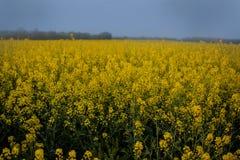 Niekończący się pole gwałt Kwiatonośni pomarańcze kwiaty zdjęcie stock