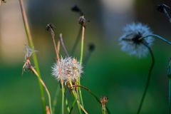Niektóre starzy dandelions przy jesienią wolno przygotowywa dla zimy fotografia royalty free