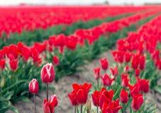 Niektóre biali płonący czerwoni tulipany przed wiele jednolity czerwony tulipan kwitną obraz stock