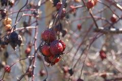 Niektóre czerwoni rosehips Zdjęcie Stock