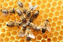 Niektóre dancingowe pszczoły w okręgu zdjęcie royalty free