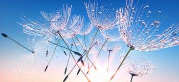 Niektóre dandelion ziarna z rosa kroplami lata daleko od zdjęcie royalty free