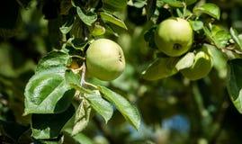 Niektóre dojrzali zieleni jabłka na ich drzewie wciąż Zdjęcia Royalty Free