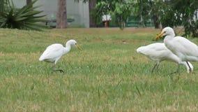 Niektóre egrets chodzi dla jedzenia w polu zbiory