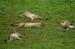 Niektóre jaguary odpoczywa w trawie zoo obrazy royalty free