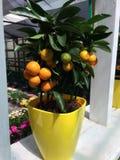 Niektóre jakby pomarańcze zakłada w ogródzie obraz royalty free