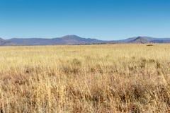 Niektóre kolor żółty przy Halnej zebry parkiem narodowym Obraz Stock