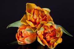 Niektóre kolorowi papuzi tulipany odizolowywający na czarnym tle zdjęcie royalty free