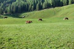 Niektóre krowy w paśniku w Ahrntal w Włochy Obrazy Stock