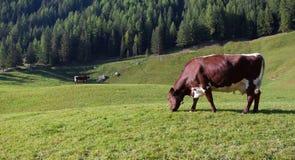 Niektóre krowy w paśniku w Ahrntal w Włochy Obraz Royalty Free