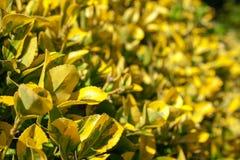 Niektóre krzak opuszcza kolor żółtego i zieleń fotografia royalty free