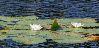 Niektóre kwitnie wodnej lelui Fotografia Stock