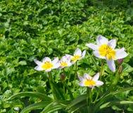 Niektóre mali lekcy tulipany Zdjęcia Stock