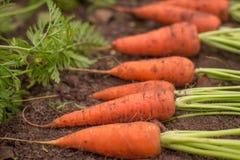 Niektóre marchewki w ogrodowym zbliżeniu Fotografia Royalty Free