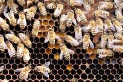 Niektóre miodowe pszczoły pracują fotografia stock