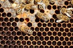 Niektóre miodowy pszczół pracować fotografia royalty free