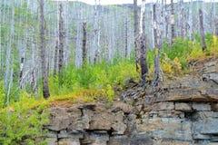 Niektóre nieżywe sosny Yellowstone z zielenią i żółtymi małymi drzewami Obrazy Royalty Free