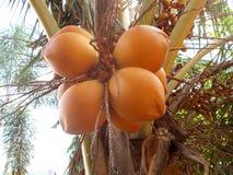 Niektóre pomarańczowe kokosowe owoc przy drzewem Zdjęcia Stock