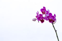 Niektóre purpurowe orchidee fotografia royalty free
