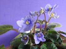 Niektóre purpurowi Afrykańscy fiołki kwitnie, z zielonymi liśćmi zdjęcia royalty free