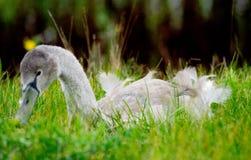 Nieletni łabędź w trawie Zdjęcie Stock