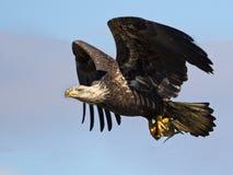 Nieletni Łysy Eagle w locie z ryba fotografia stock