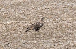 Nieletni Łysy Eagle w soi fasoli ścierni Fotografia Stock