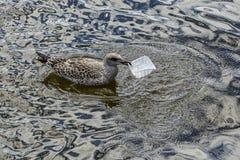 Nieletni śledziowego frajera łasowania klingeryt pakuje w wodzie Fotografia Royalty Free