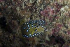 Nieletni żółty boxfish Zdjęcie Royalty Free