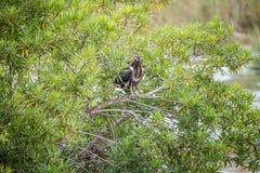 Nieletni Afrykański rybiego orła obsiadanie w krzaku fotografia stock