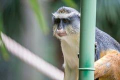 Nieletni afrykanina Vervet małpy Chlorocebus pygerythrus w bambusie Zdjęcie Royalty Free
