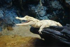 Nieletni albinosa krokodyl, albinosa krokodyl zdjęcia stock
