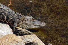 Nieletni Alligator2 Fotografia Royalty Free