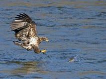Nieletni Amerykański Łysego Eagle ryba chwyt zdjęcie stock
