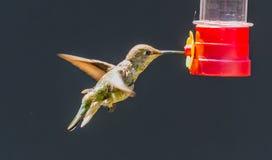 Nieletni Anna's Hummingbird zdjęcie royalty free