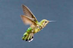 Nieletni Anna's Hummingbird Zdjęcie Stock