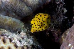 Nieletni boxfish Obraz Stock