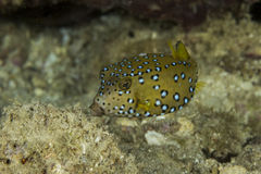 Nieletni boxfish Zdjęcie Stock