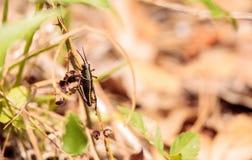 Nieletni Brown Romalea mic i żółty Wschodni drągala pasikonik Zdjęcie Royalty Free