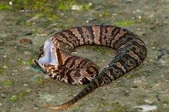 Nieletni Cottonmouth węża Agkistrodon piscivorus Zdjęcia Stock