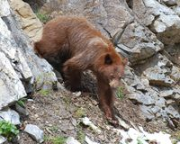 Nieletni Cynamonowy Czarnego niedźwiedzia chodzić Obraz Stock