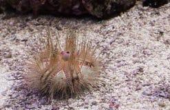 Nieletni czerwony opromieniony denny czesak kłaść na dnie i patrzeje wokoło, tropikalny zwierzę z kręgosłupami od oceanu spokojne zdjęcia royalty free